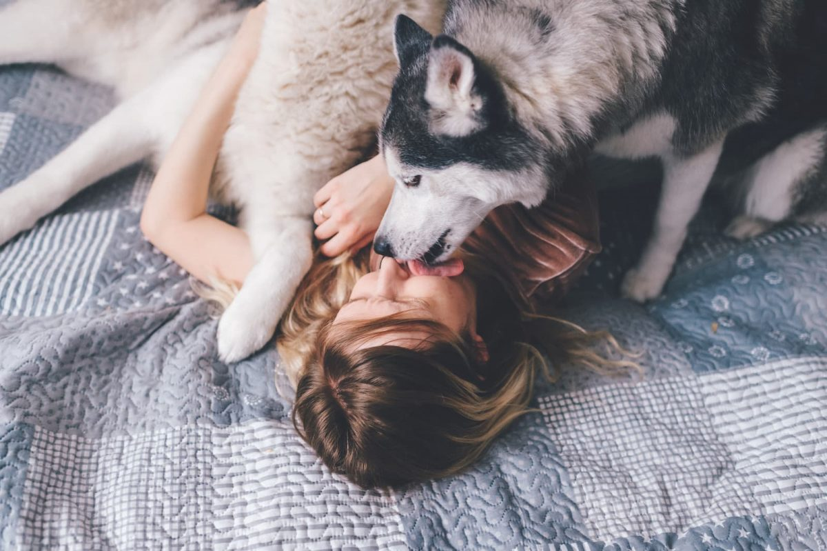 husky lambendo a dona