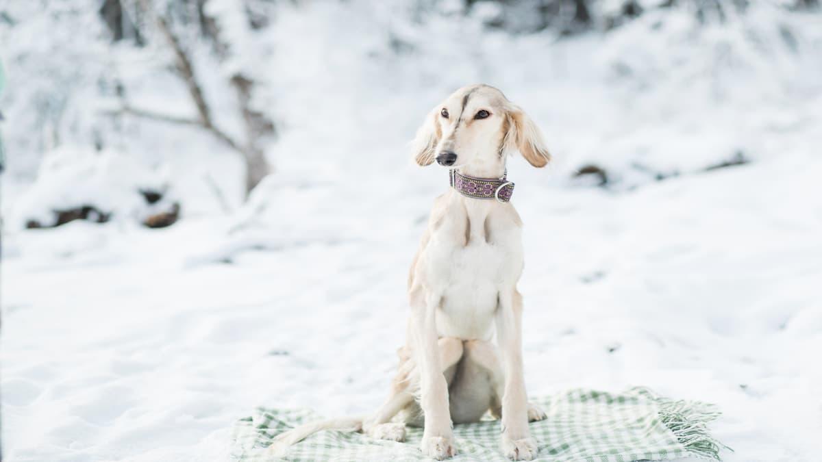 saluki branco na neve