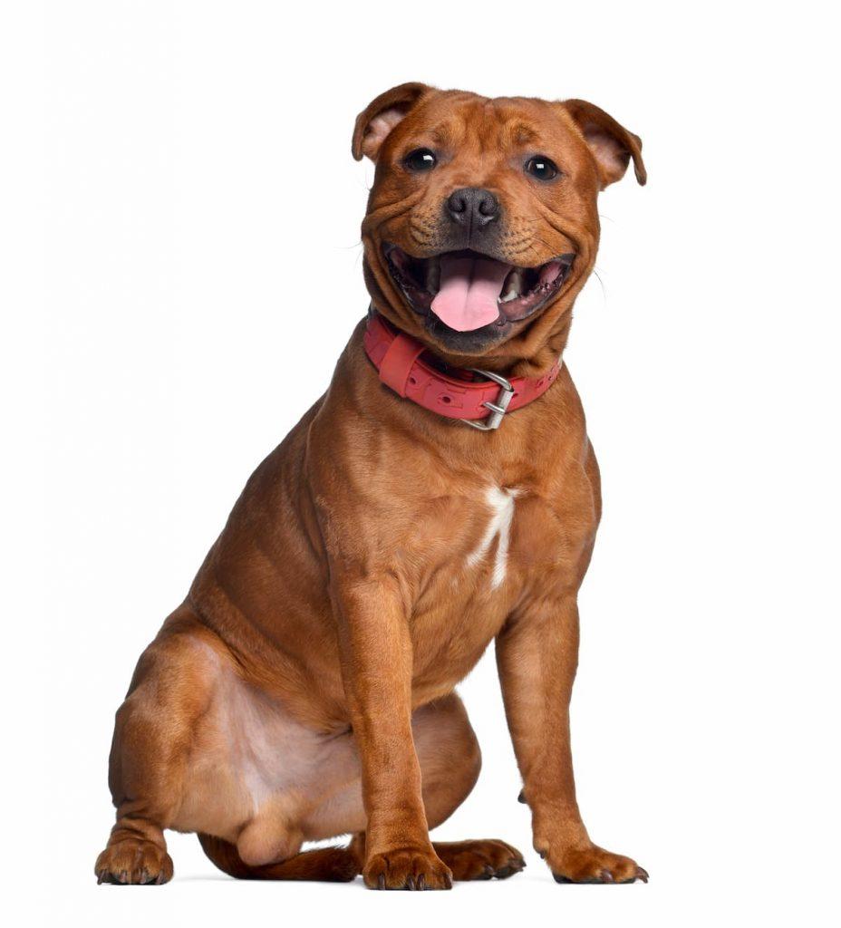 Staffordshire Bull Terrier marrom