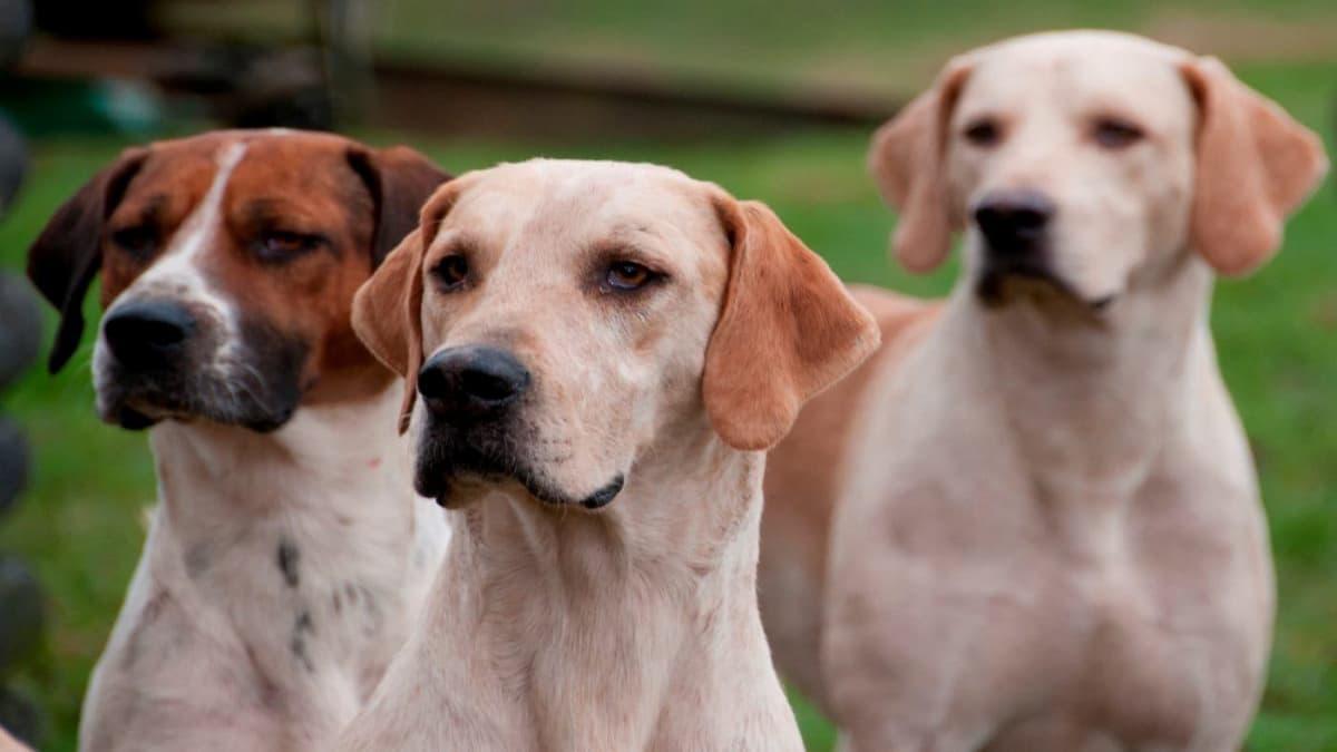 tres foxhound