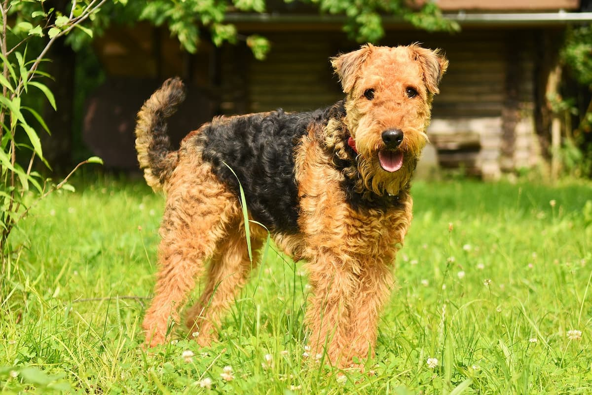 airedale terrier na grama
