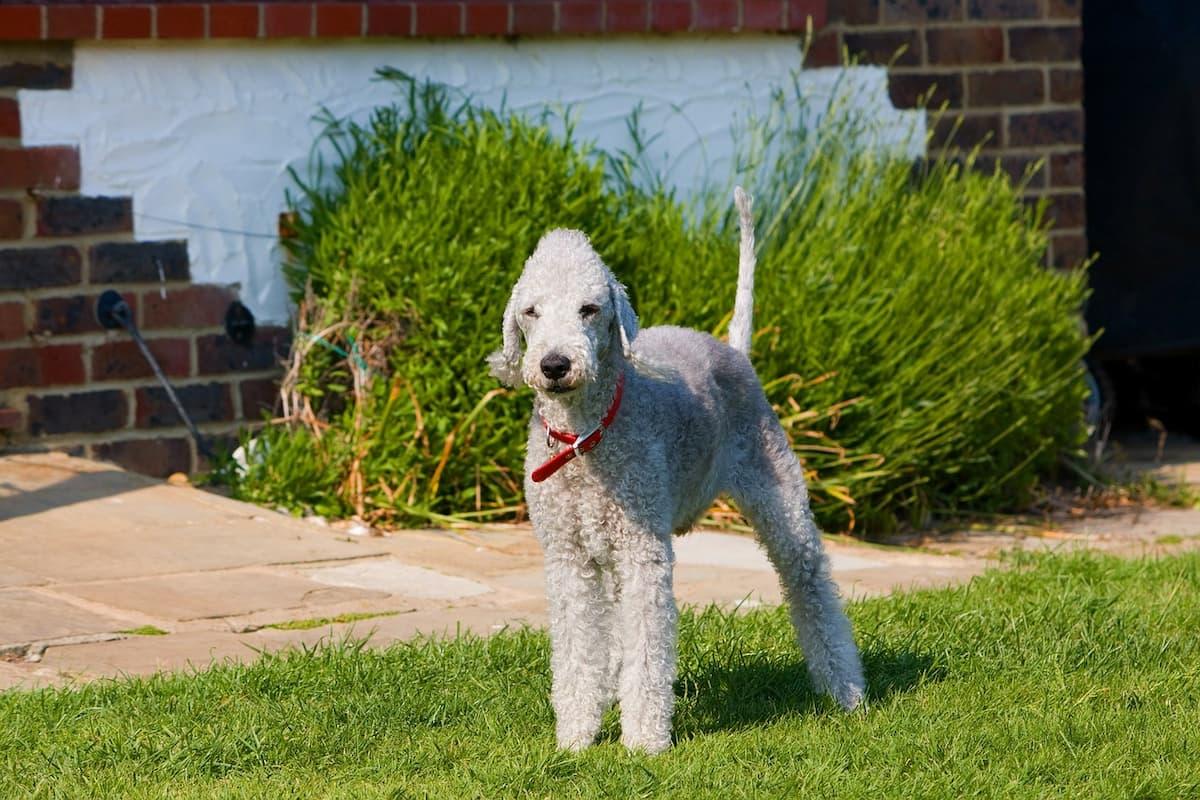 bedlington terrier em pé