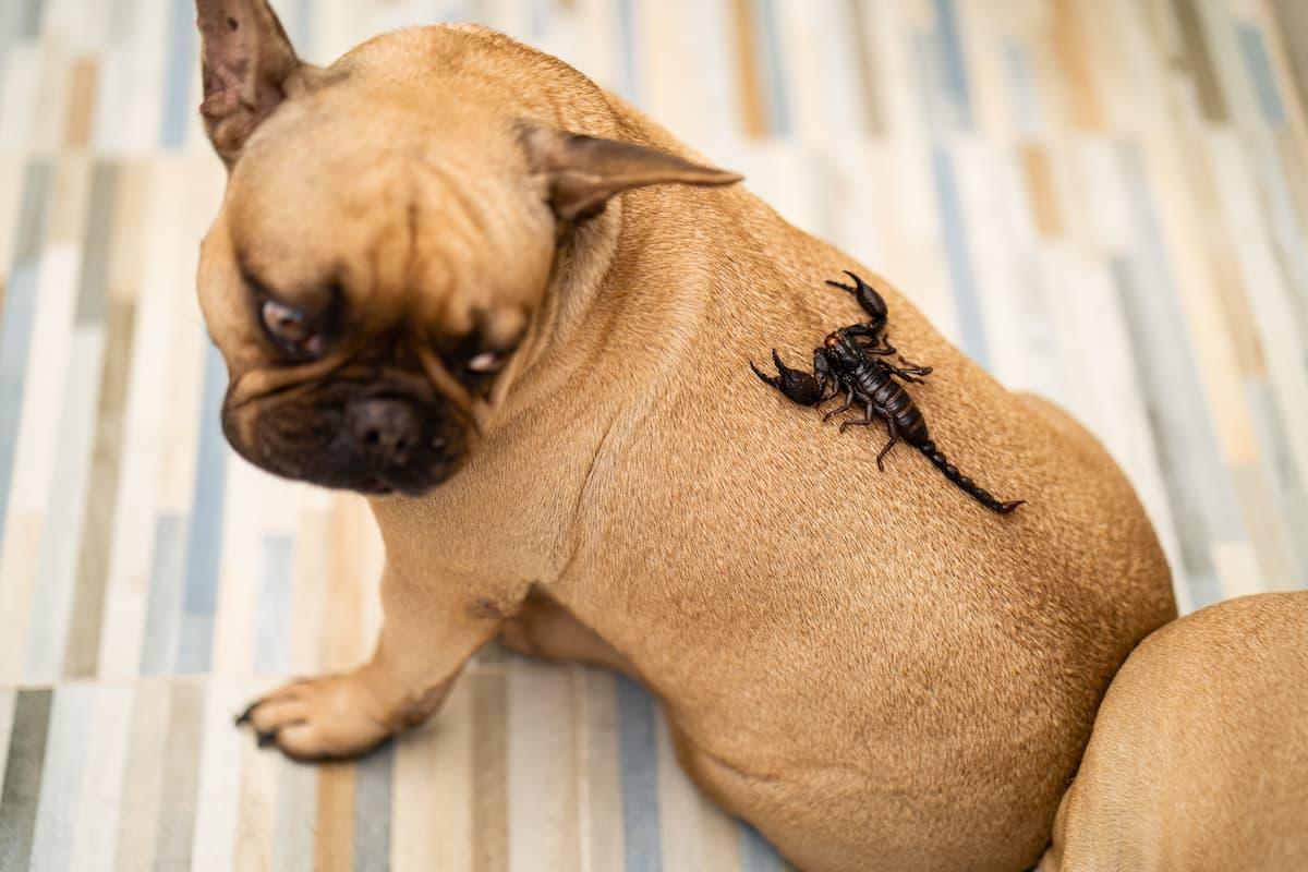 buldogue com escorpião nas costas