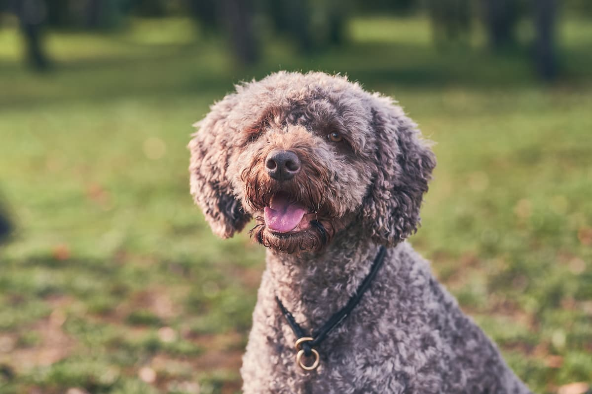 cão d'água espanhol