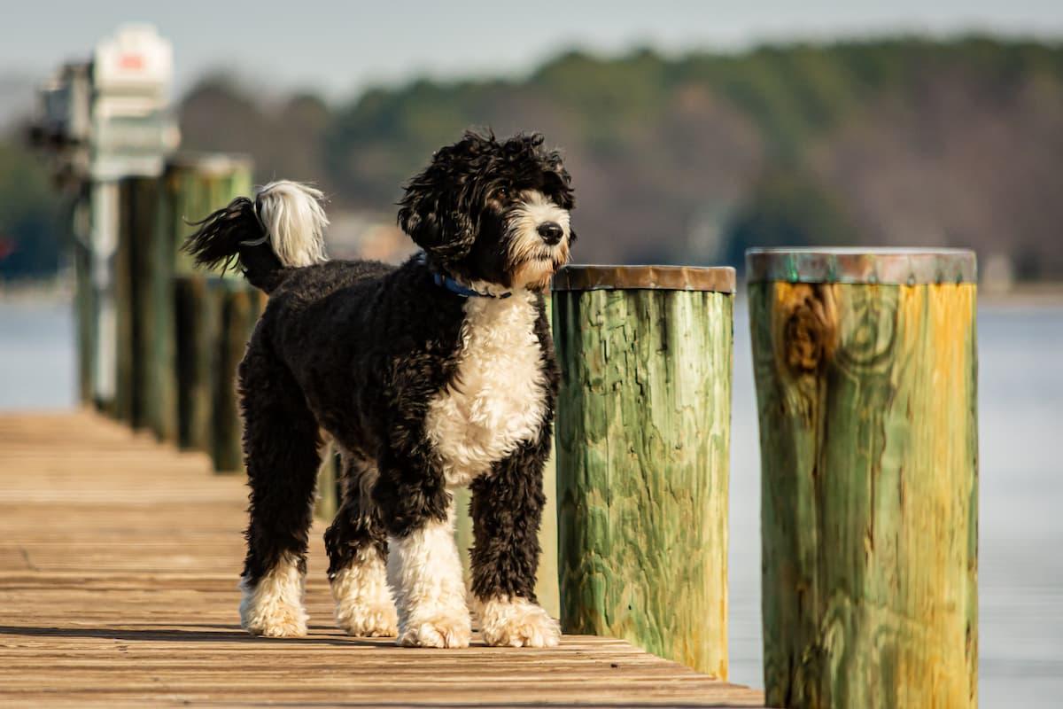 cão d'agua portugues