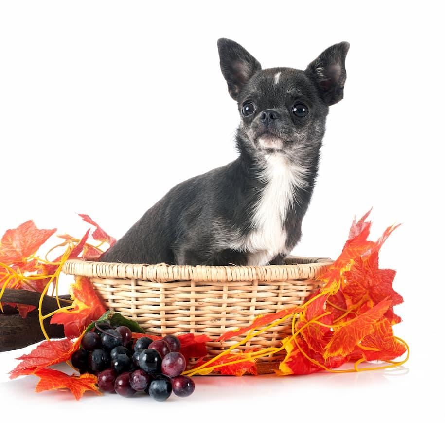 chihuahua com uvas