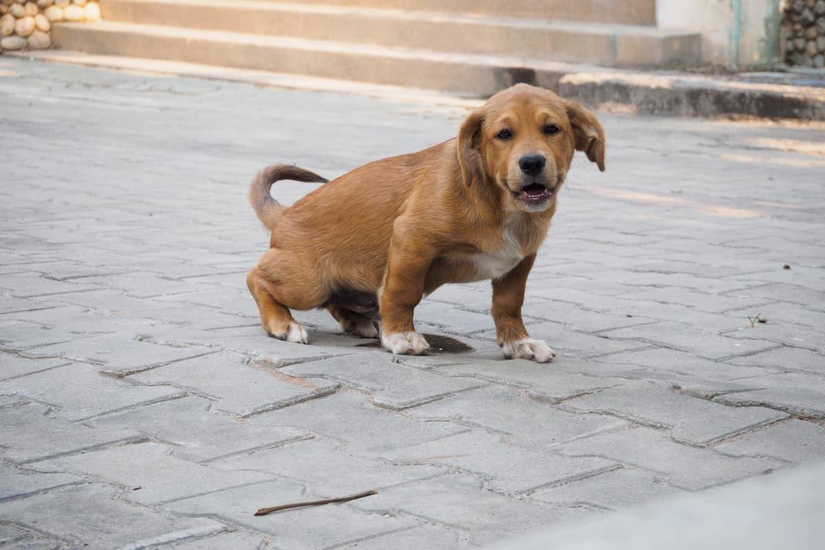 filhote de cachorro fazendo xixi