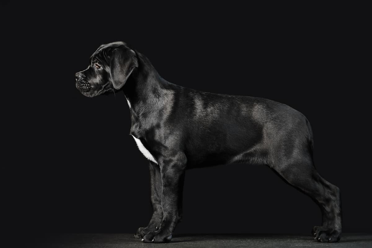 filhote de cane corso preto
