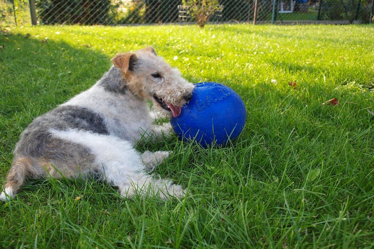 fox terrier deitado com a bola