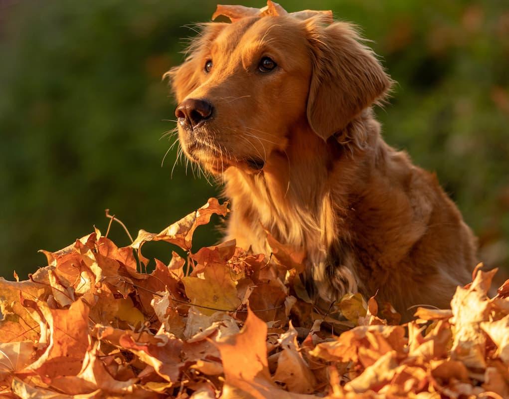 golden nas folhas secas