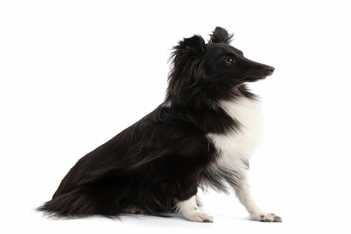 pastor de shetland preto e branco