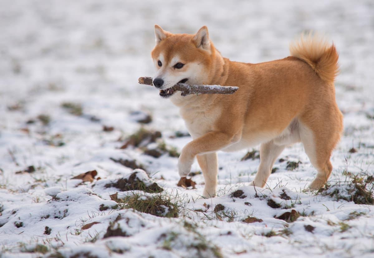shiba inu com graveto na neve
