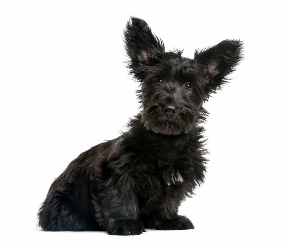 skye terrier preto