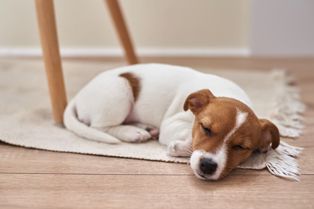 jack russell terrier dormindo no chão