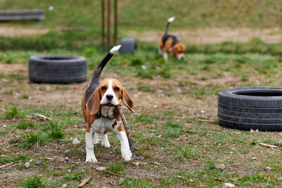 beagle brincando na grama