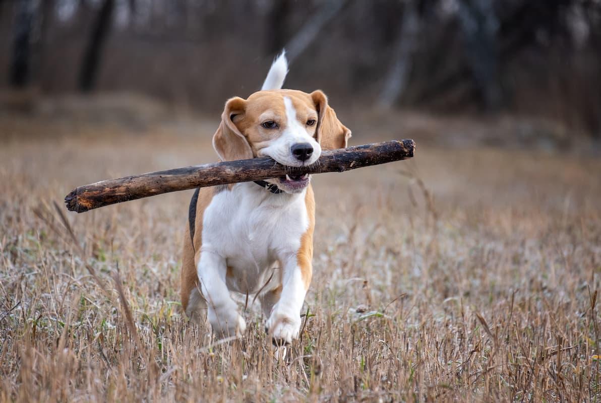 beagle com graveto na boca
