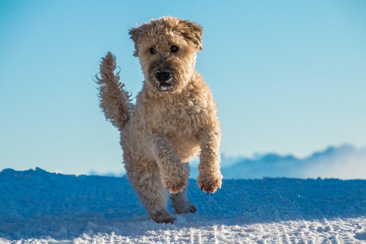 Soft Coated Wheaten Terrier dourado na neve